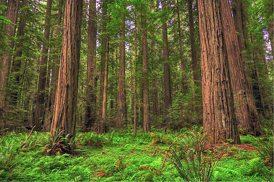 Redwoods and California Coast